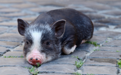 image for Mini-Pigs